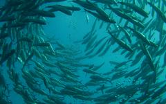 Acuicultura marina de peces