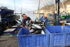 Descarga de atunes, enfrente de las instalaciones de la OPP-64, en Santa Cruz de Tenerife.