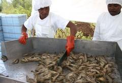 Acuicultura Africa