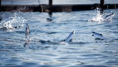 Cermaq acuicultura salmón