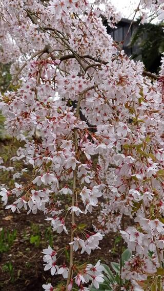 Floración de prunus