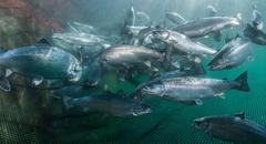 Salmón de acuicultura. Foto: Evonik