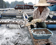 Acuicultura en Asia_ Foto: UNCTAD