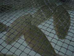 Lenguado acuicultura