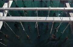 Clóchina de Valencia acuicultura mejillón