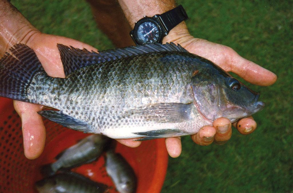 La acuapon a algo m s que producir peces y hortalizas for Como cultivar peces en casa