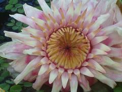 Nenufar flor