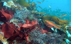 Algas Santa Barbara