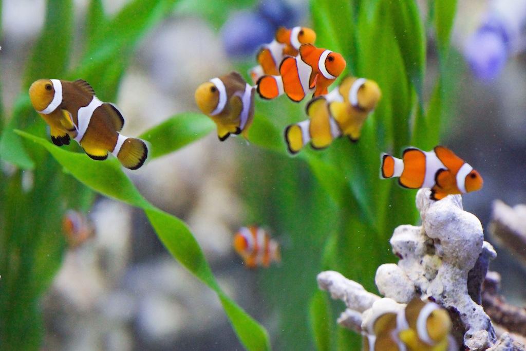 La acuicultura ornamental en m xico genera m s de 5 5 for Manual de peces ornamentales