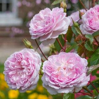 Venta de rosales de David Austin