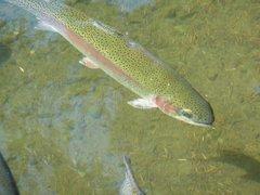 Trucha arco iris acuicultura