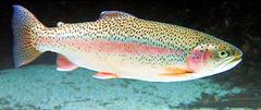 Trucha acuicultura. Foto: IATS-CSIC