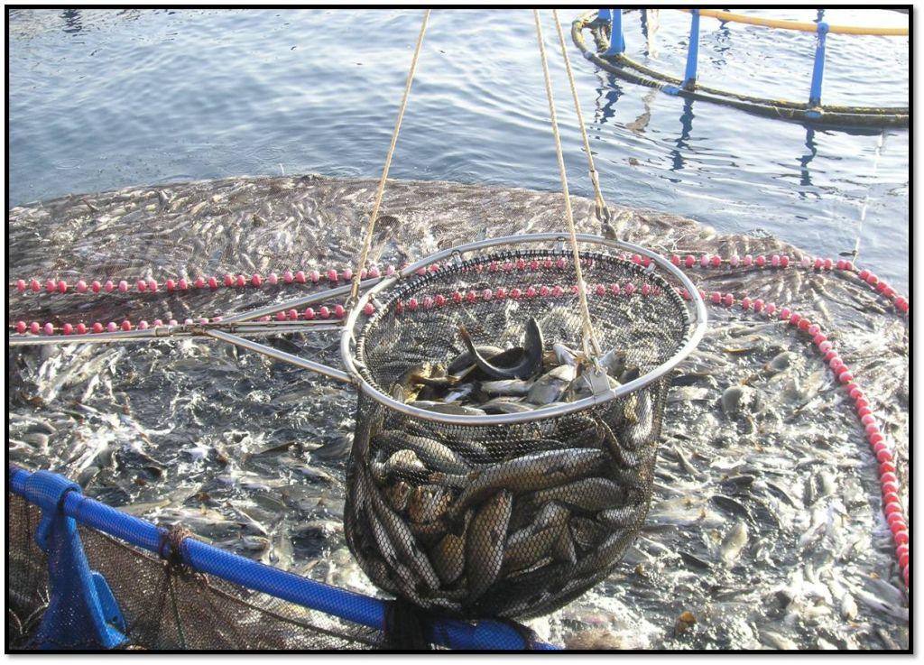Proyecto para fomentar el consumo de corvina ltima hora for Tipos de estanques para acuicultura