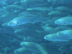 Corvina acuicultura