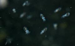 Paralarvas de pulpo acuicultura
