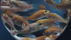 Tilapia_ acuicultura. Foto: Skretting