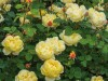 Venta de rosas David Austin