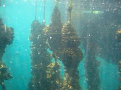 Cuerdas mejillón acuicultura