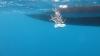 Gorgonias del género Eunicella, preparada para su replantación en el fondo marino | ICM-CSIC