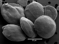 Gambierdiscus balechii