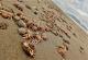 Varamiento de cangrejos en Perú