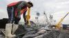 Descarga de atún de cerco en Ecuador