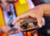 Concha de abanico Perú
