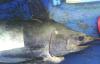 Marcado de tiburones