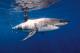 tiburón CITES