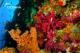 Corales. Foto Oceana