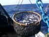 Atunero atún